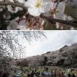 砧の桜~2008