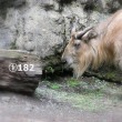 多摩動物公園のゴールデンターキン メイ。1歳と182日。