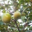スッカリ秋 果樹の季節です