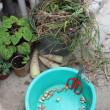 Allium chinense