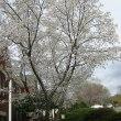 今年は早い 桜満開