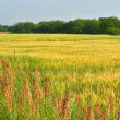 静かな麦畑