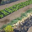 極早生種は早いな、玉ねぎ収穫した。