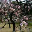 小石川後楽園の梅祭り・・2