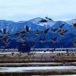 冬鳥の北帰行・・・・・後潟~蓬田水田・・・・・