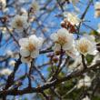 ようやく梅の花が