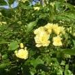 '18.04.22 里の周辺・モッコウバラが咲き始め