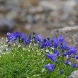 白山の花-4