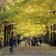 昭和記念公園のイチョウ並木・・1