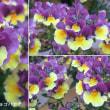 ネメシア・スイートチョコバナナの花は