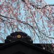樹齢200年以上の紅枝垂れ桜開花
