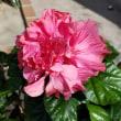 花びらがヒラヒラのハイビスカス