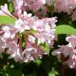 卯の花の咲く頃