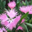 ピーチプリンセスの花は