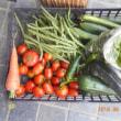 今日の収穫 トマト ニンジン インゲン キュウリ ズッキーニ バジル トウガラシ類 ニラ キャベツ