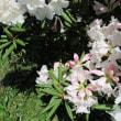 シャクナゲの花が咲きました