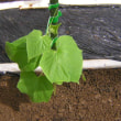 きゅうり栽培秋どり品種はやみどり、害虫対策失敗した、危機が