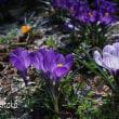 クロッカス 府立植物園