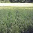 稲刈りを始めます