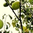 初秋の花 リコリス 彼岸花 現の証拠 ダリア 蝶花 百日草 マラカス 秋明菊 藍 花水木 カリン