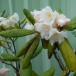「白山石楠花」が気品のある姿で楚々と咲いている