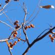 ムクロジの紅葉と果実