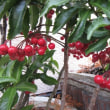 赤い実の 千両・万両・南天・ピラカンサス