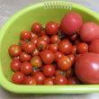 トマトの収穫も終わりです。