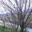 恋瀬川沿いの桜が開花してた🌸