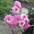 子供の頃からの菊とIHI受付の活け花