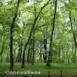 森の中のスズラン。