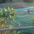 畑、ブルーベリーに鳥が