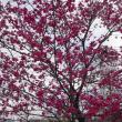 「すみよし桜の里&北浅羽桜堤」へ(3回目)