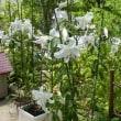 灼熱の中、悠然と咲くカサブランカの花
