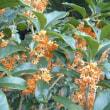 「おはようの花」 金木犀(きんもくせい)10-19