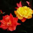 薔薇 (花 4674)