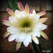 琉球大田焼窯元☆平良幸春花の写真集 鬼面角の花が咲きました。