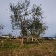 興味深かったオリーブ栽培の始まり