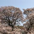 吉高の大桜にも行ってみた
