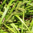 タチスゲ(カヤツリグサ科・スゲ属)多年草