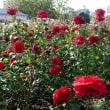 100万本の薔薇の街