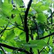 樹木ウォッチング冬から夏へ430キリ3