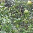 レモンと柿