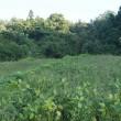 枝豆の収穫 その四