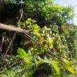 庭のカマキリ