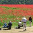 秩父高原牧場は花盛り・・・・・ポピーの花畑