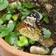 ツマグロヒョウモン蝶がいた