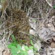 地面に蜂球を作った西洋ミツバチ分封群
