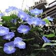 近所で見た花 ノアサガオ、ハイビスカス'レッドフラミンゴ'など