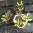 庭のふだん草が またまたネキリムシかな 小さい苗を庭の畑に